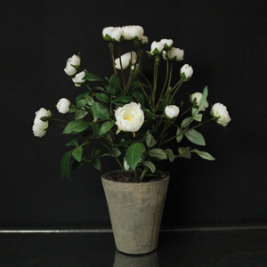 White Rose Bush in Stone Pot