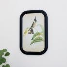 Framed Bearded Helmetcrest Bird Print
