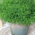 Potted Artificial Hebe Globe Plant